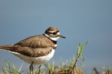 Free Female Killdeer Royalty Free Stock Photo - 3792915