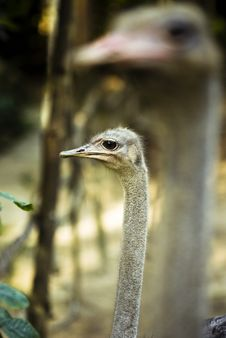 Free Gazing Ostrich Stock Photography - 3793332