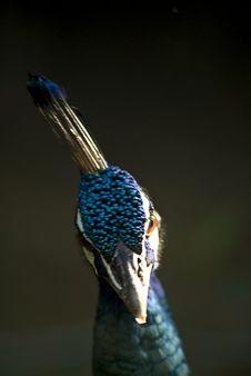 Free Peacock Royalty Free Stock Image - 3793646