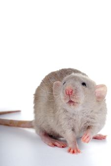 Little Rat Royalty Free Stock Photo