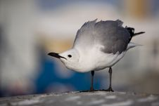 Free A Provocative  Gull Royalty Free Stock Images - 3795909