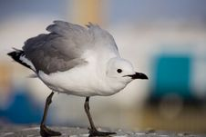Free A Provocative  Gull Royalty Free Stock Photography - 3796037