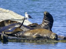 Free Sleeping Sea Lions. Stock Photography - 3796622