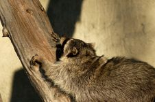 Free Raccoon. Royalty Free Stock Images - 3797469