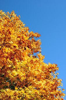 Free Gold Tree. Royalty Free Stock Photo - 3797645