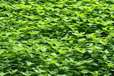 Free Background Of Nettles Royalty Free Stock Photo - 3798165