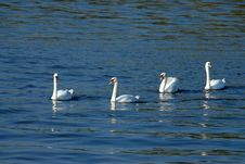 Four Swans Stock Images