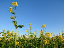 Free Yellow Flowers Of A Rape Field Royalty Free Stock Photos - 3798218