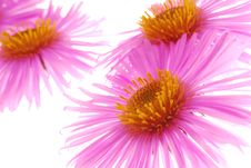 Free Pink Aster Royalty Free Stock Images - 3798869