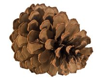 Free Pine Cone Royalty Free Stock Photography - 3799687