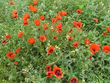 Free Poppy Field Stock Images - 37909674