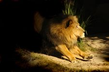 Free CAT 0047 Lion Walk Stock Photography - 381902