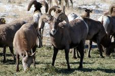 Free Big Horn Sheep Grazing Stock Photography - 383752