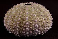 Free Sea Urchin Royalty Free Stock Photos - 385178