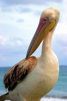 Free Pelican Royalty Free Stock Photos - 385388