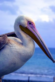 Free Pelican Stock Photo - 385390