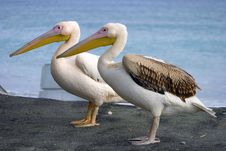 Free Pelicans Stock Images - 385484