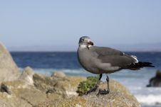 Free Heermanns Gull On Rocks Royalty Free Stock Images - 387299