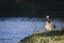 Free Canadian Goose On Watch Stock Photography - 387302