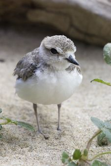 Snowy Plover 1 Royalty Free Stock Photos