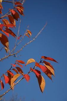 Free Red Leaves Against Blue Sky Royalty Free Stock Image - 388346