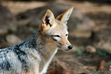 Free Jackal. Stock Photos - 388843
