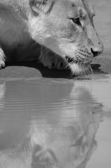 Thirsty Lioness. Stock Photo