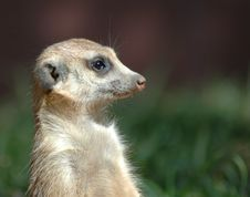 Free Meercat. Stock Photography - 388942