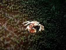 Free Anemone Crab Stock Photo - 389480
