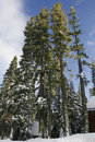 Free Tall Tree In The Sierras Royalty Free Stock Images - 3809489