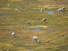 Free Alpacas Stock Image - 3800741