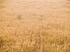 Free Wheat Before Harvest Royalty Free Stock Image - 3800896