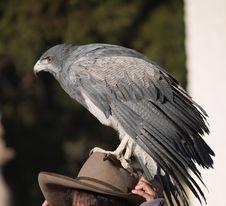 Free Eagle Stock Image - 3800901