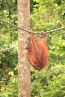Free Adult Orang-Utan Hanging From Rope Royalty Free Stock Images - 3801629