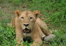 Free Lion Stock Photography - 3802182