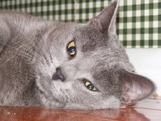 Free Tired Cat! Royalty Free Stock Photography - 3802317