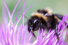 Big Wasp Royalty Free Stock Photos