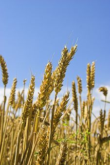 Free Wheat Royalty Free Stock Photography - 3803947