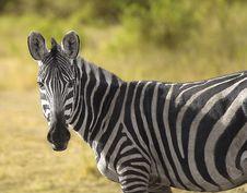 Free Zebra Royalty Free Stock Image - 3804666