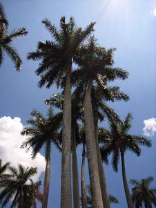 Free King Palm Royalty Free Stock Photos - 3805388
