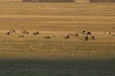 Free Cows Stock Photo - 3805490