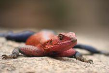 Free Lizard Stock Image - 3805951