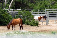 Wild Ponies Of Ocracoke Island Royalty Free Stock Photography