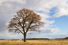 Free Oak In Autumn Field Stock Images - 3807474