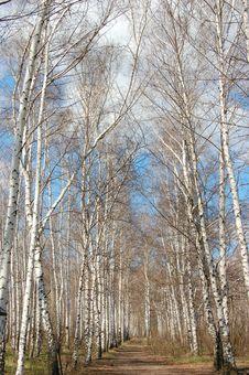 Free Birches Landscape Stock Photos - 3809933