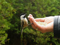 Free Chickadee On Fingers Stock Photos - 3817623