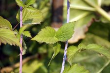 Free Blackberry Cane And Leaves Closeup Stock Photography - 3810302