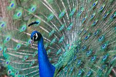 Free Peacock S Beautiful Courtship Stock Images - 3810394