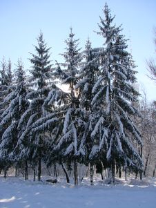 Free Snow Firs 1 Stock Photography - 3810512