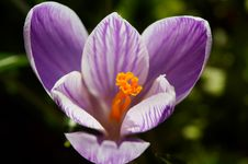 Free White-violet Crocus Royalty Free Stock Photo - 3810675